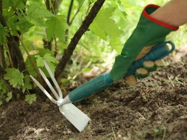 Рыхление земли под кустом смородины