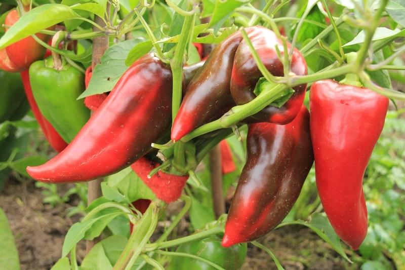 Перец Воловье ухо — сладкий любимец огородников