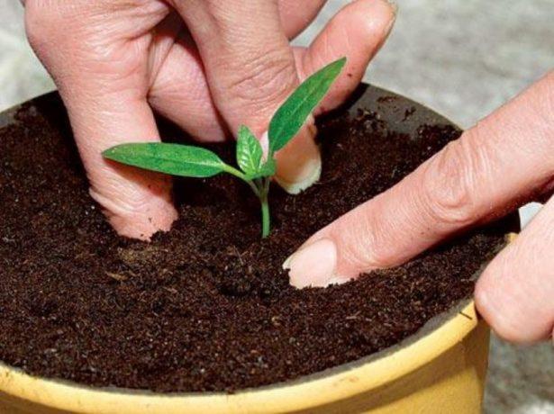 Пересадка ростка перца в просторную тару