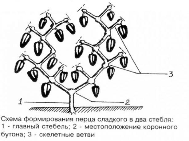 Схема обрезки перца