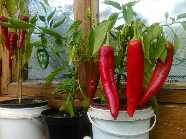 Перец, выращиваемый на подоконнике