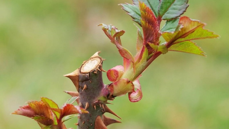 Весенняя обрезка роз: как «построить» королеву цветов