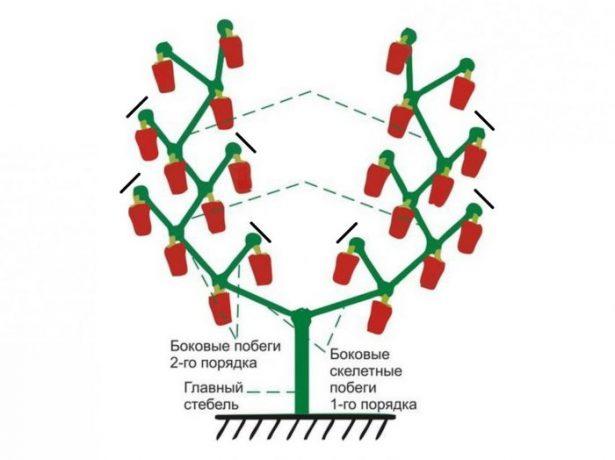 Схема формироки горького перца в два стебля