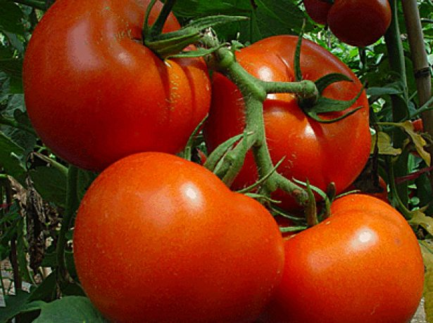 Кисть томата Китайский ранний