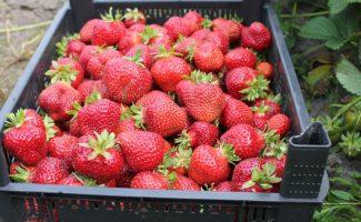 Поздняя садовая земляника Флоренс: как получить урожай вкусных ягод в июле
