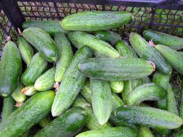 Зеленцы огурца Либелле