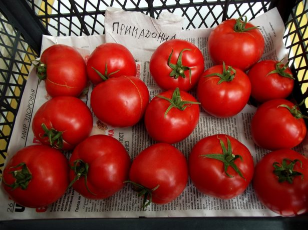 Плоды томата Примадонна в ящике