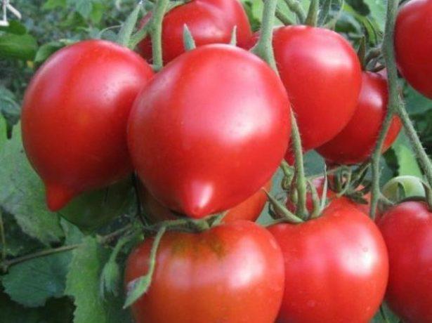 Плоды томата Примадонна