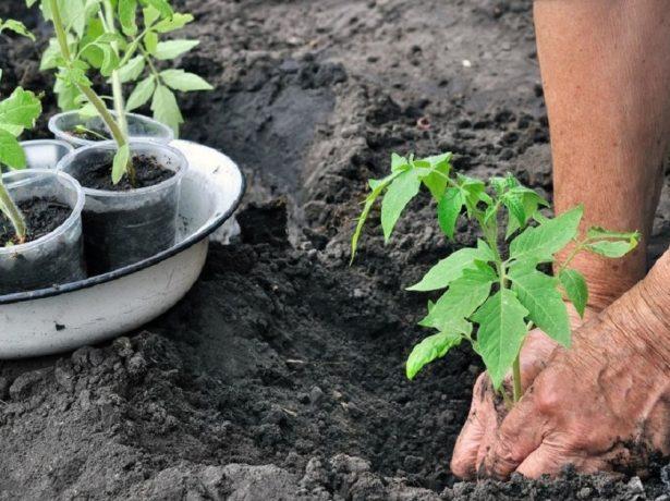 Высадка рассады томатов в открытый грунт