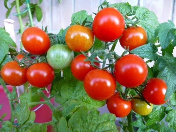 Плоды томата Пиноккио