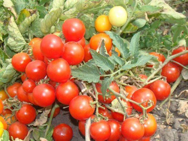 Урожай томатов на кусте