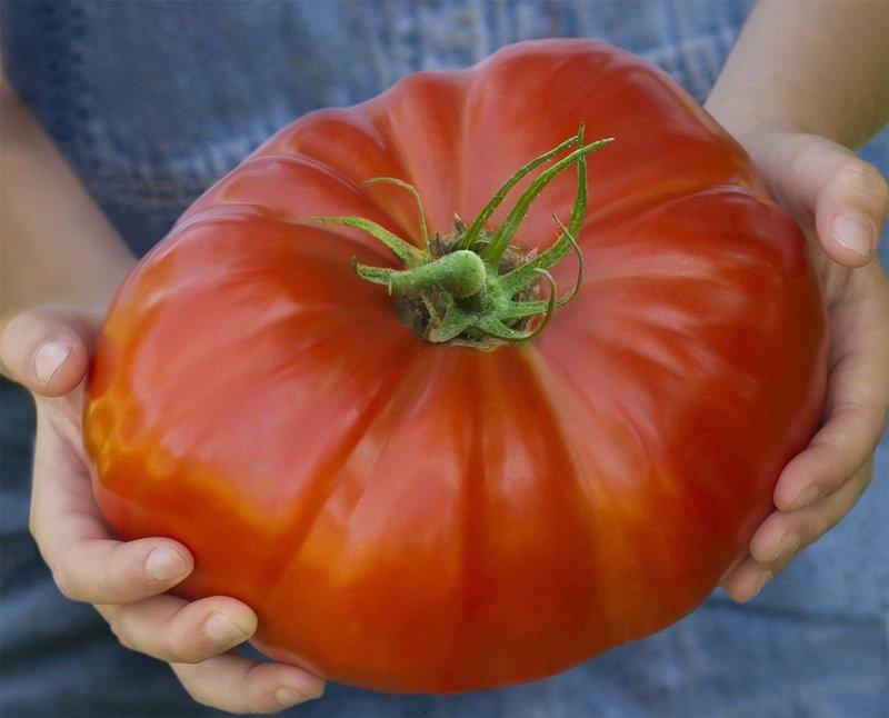 Томат Исполин: красноплодный гигант на грядке