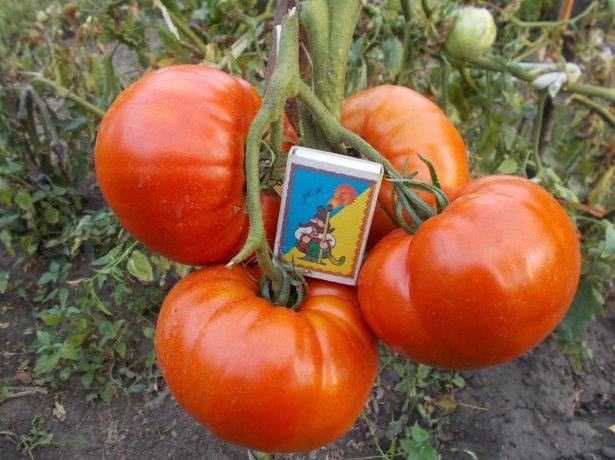 Плоды томата Исполин