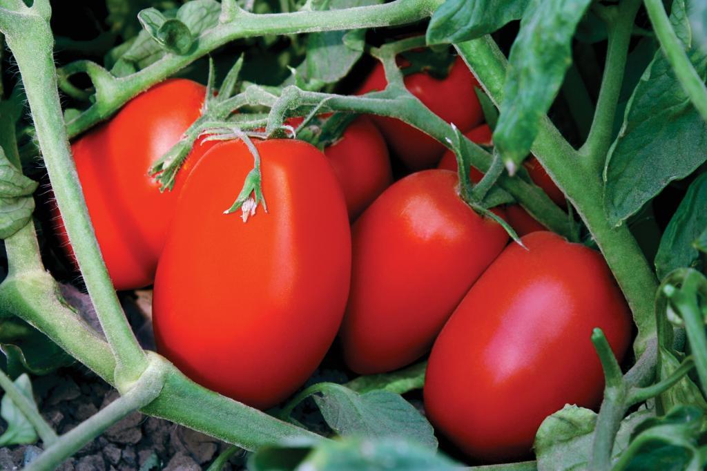 томат сибирская тройка фото отзывы станет