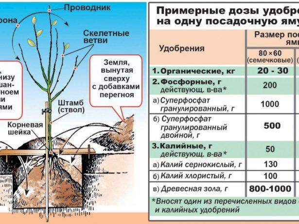 Схема посадки саженцев плодовых деревьев