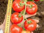 Ранний томат Любаша — многообещающая новинка