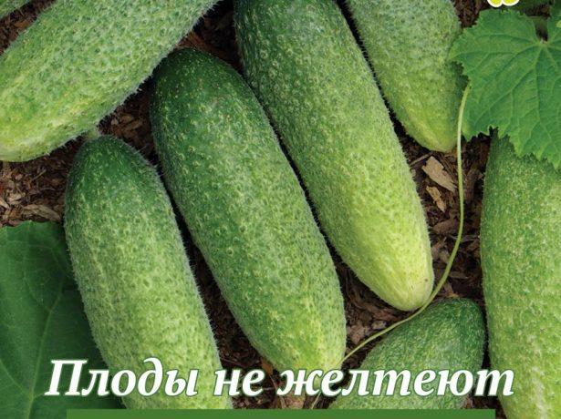 Плоды огурца Изящный