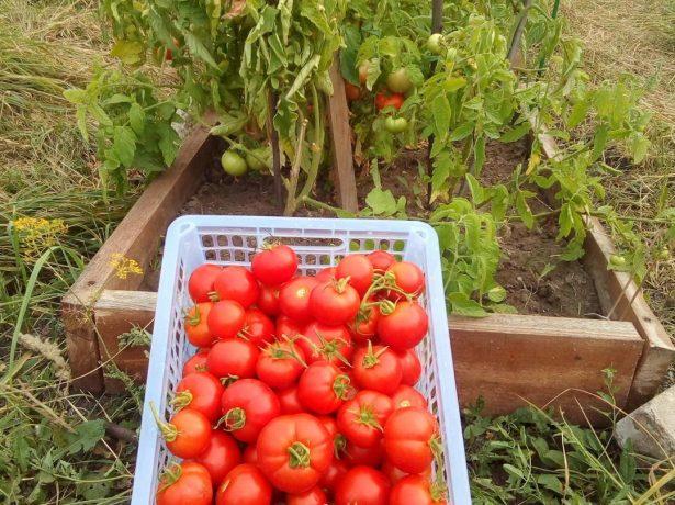 Урожай томата Любаша