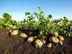 Не мешайте картошке расти! Посадка и выращивание по Картелеву