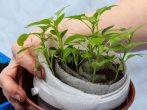 Как правильно посадить перец в улитку, плюсы и минусы этого способа