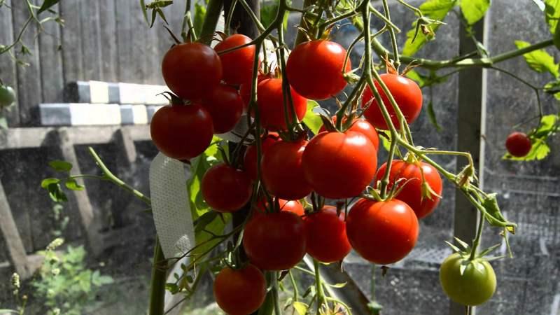 Томат Вишня красная: украшение блюд и просто удовольствие