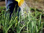 Как правильно поливать лук, чтобы получить хороший урожай