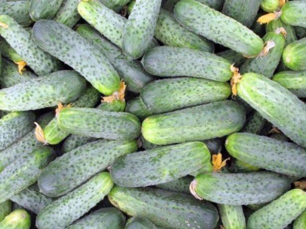 Собранные зеленцы огурца Аякс