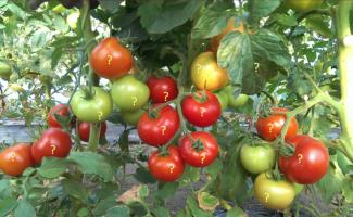 томаты с вопросительными знаками