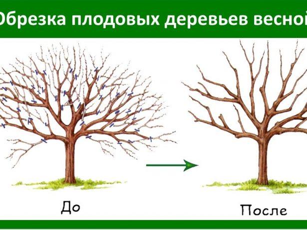 Обрезка загущенной яблони весной