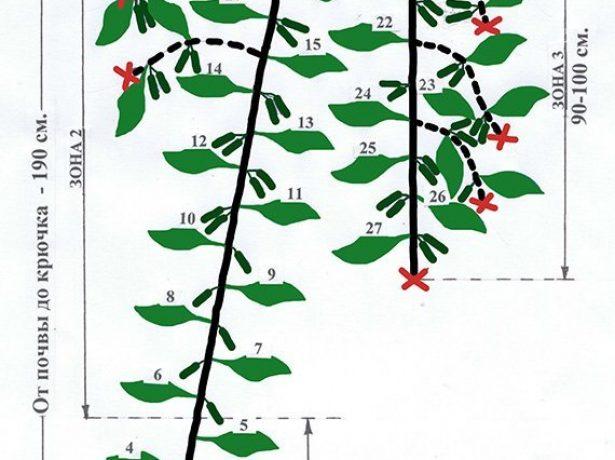 Схема формировки огурцов