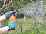 Внекорневая подкормка вишни мочевиной