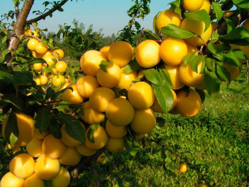 Алыча Гек — урожайная и неприхотливая русская слива