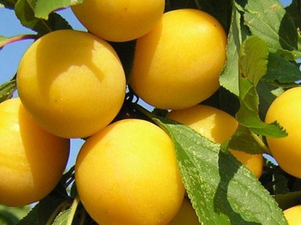 Плоды алычи Гек