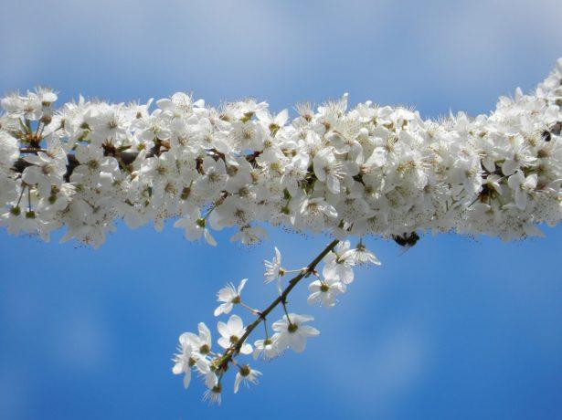 Цветущий побег алычи