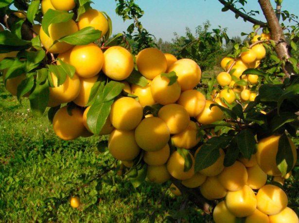 Урожай желтоплодной алычи на ветке
