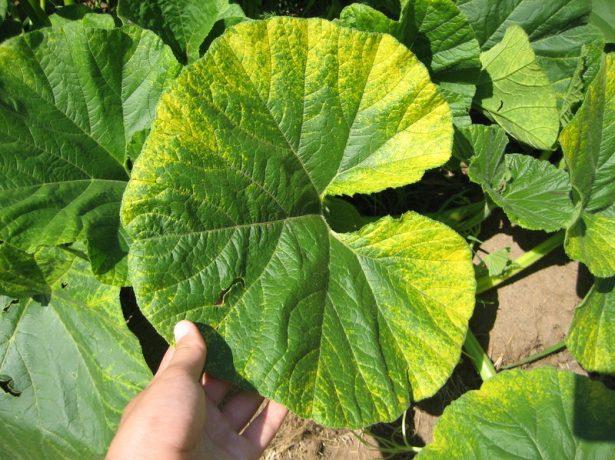 Желтеющий тыквенный лист