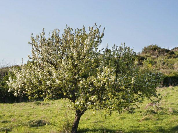 Дерево груши на склоне
