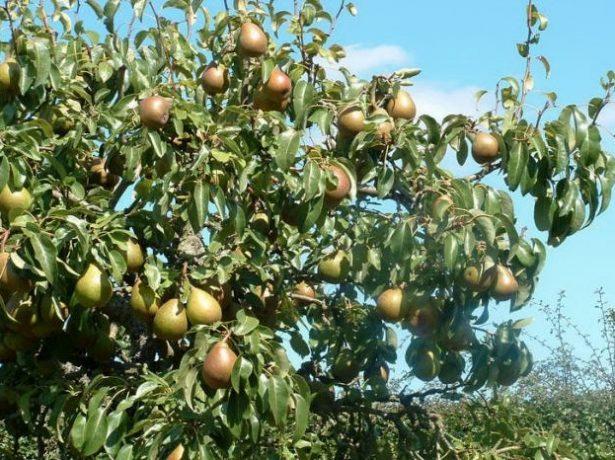 Плоды груши Мраморная на дереве