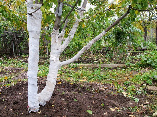 Обмотка штамба и скелетных ветвей на зиму