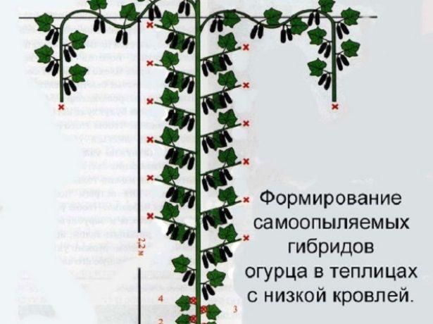 Формирование огурцов-гибридов