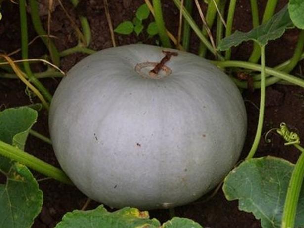 Плод тыквы