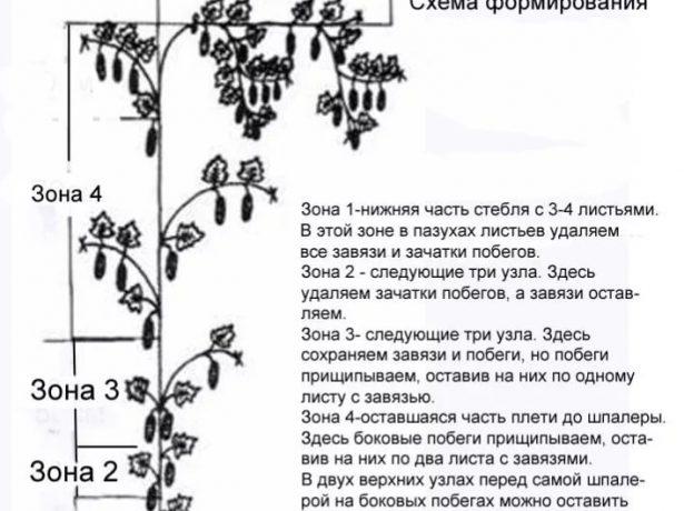 Схема формирования пучковых сортов огурца