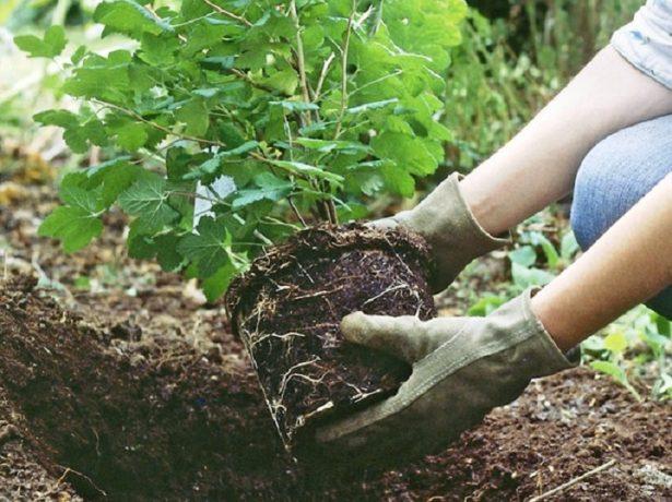 Подготовка ямы для саженца гортензии