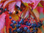 Ягоды девичьего винограда
