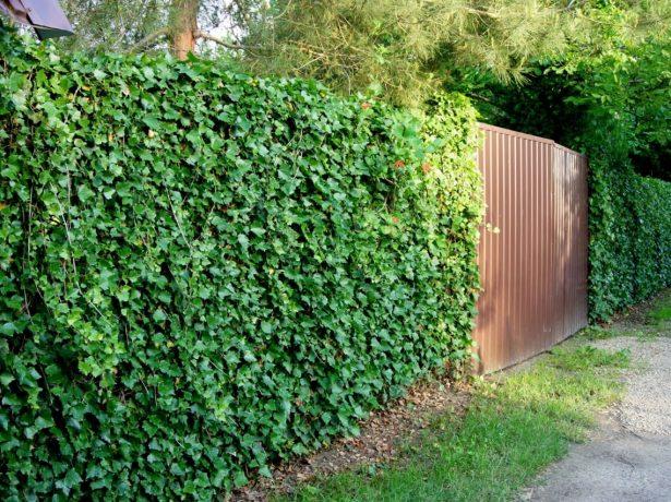 Забор, заросший плющом
