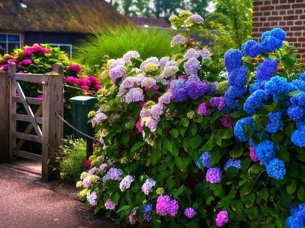 Цветущие сорта гортензии