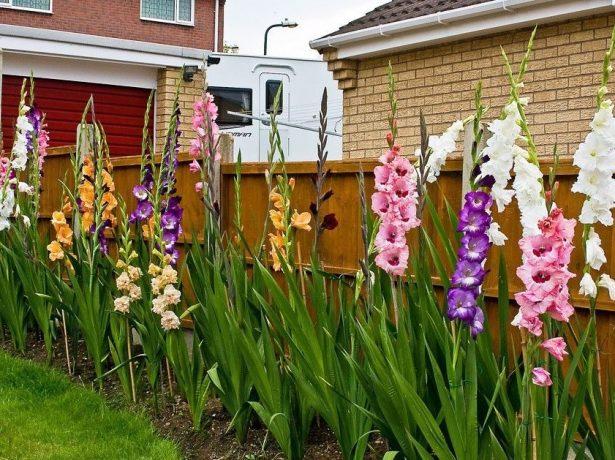 Гладиолусы цветущие у забора