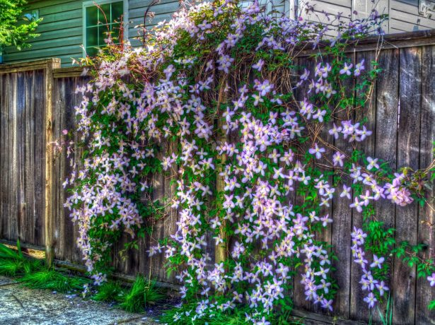 Россыпь цветков клематиса на заборе
