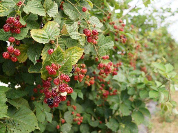 Зреющие плоды ежевики