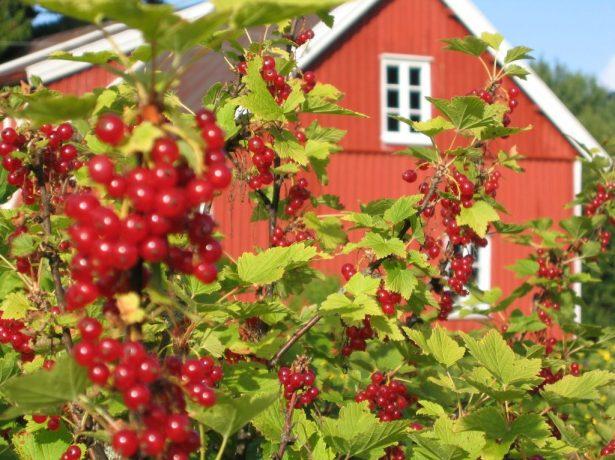 Гроздь ягод красной смородины